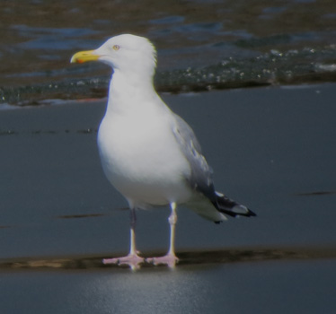 Herring Gull James A Reed 3_5_2015